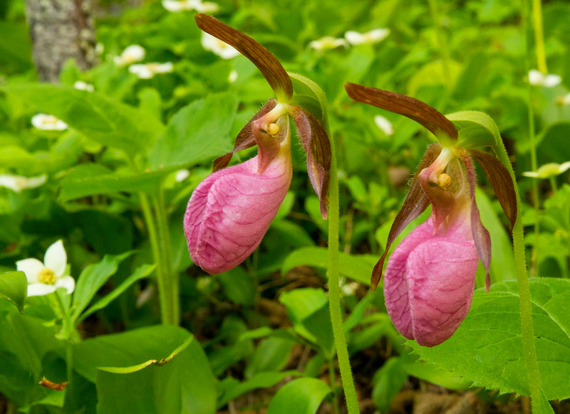 Pink Lady's-slippers 005