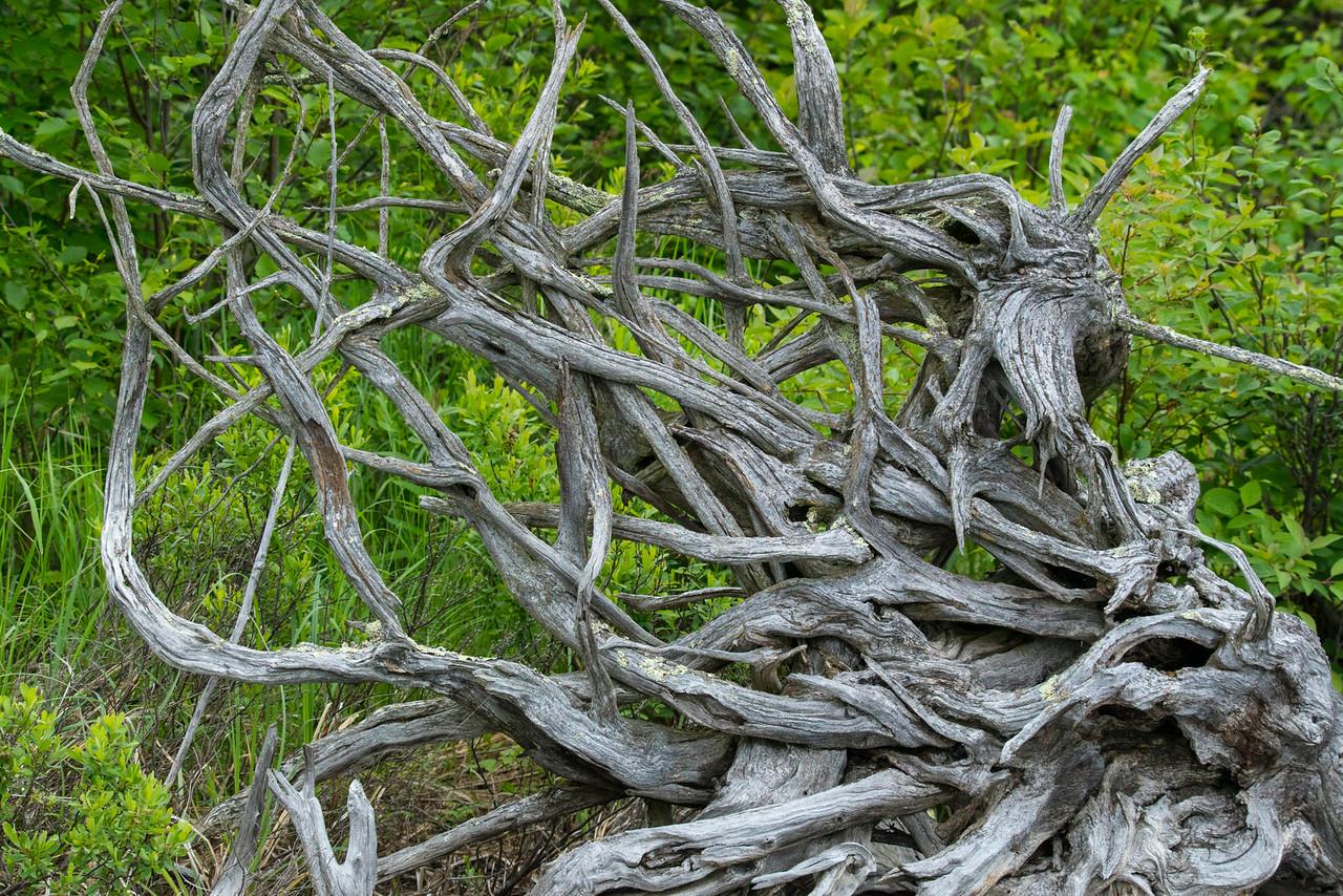 Cedar Roots.