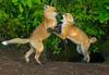 Fox Kits 007