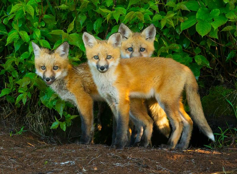 Fox Kits 005