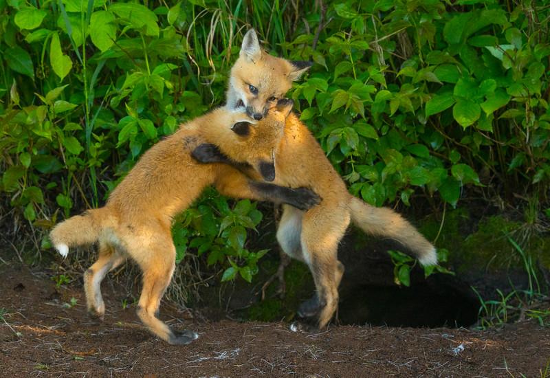 Fox Kits 006