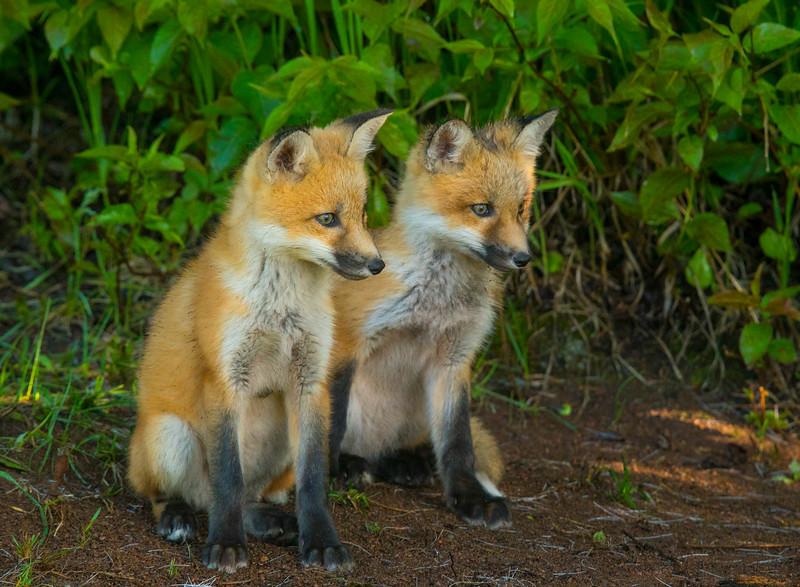 Fox Kits 004