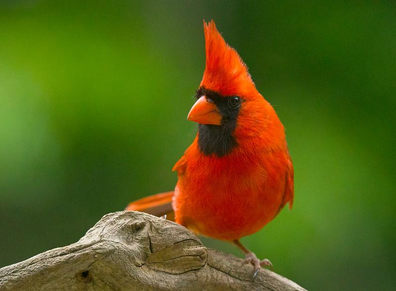 Northern Cardinal 004