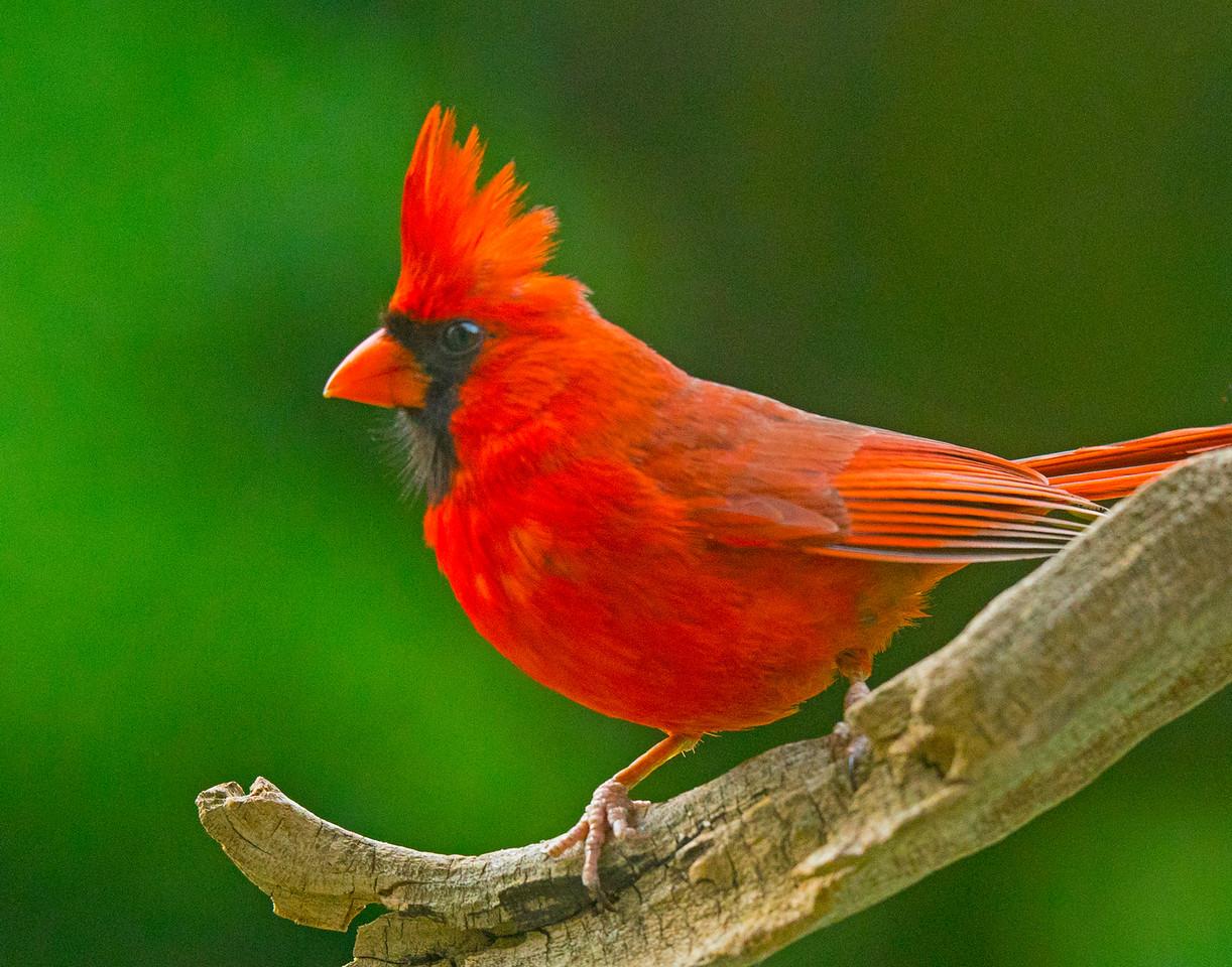 Northern Cardinal 002