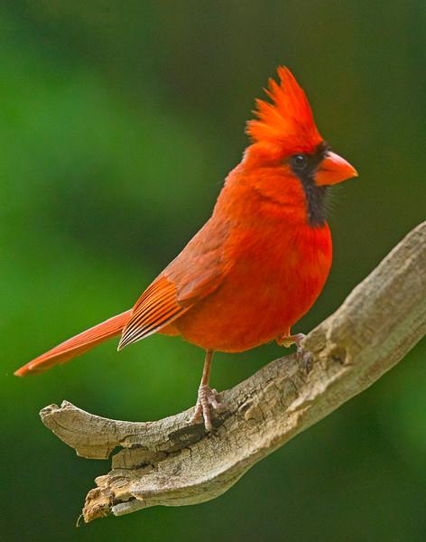 Northern Cardinal 003