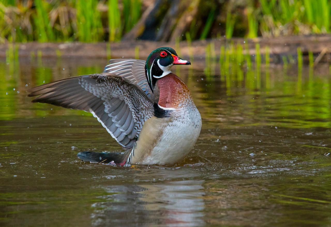 Wood Duck 012