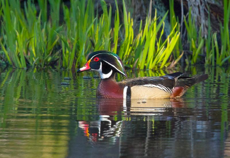Wood Duck 003