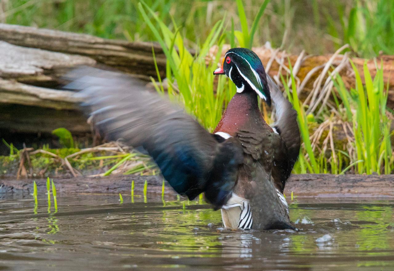 Wood Duck 011