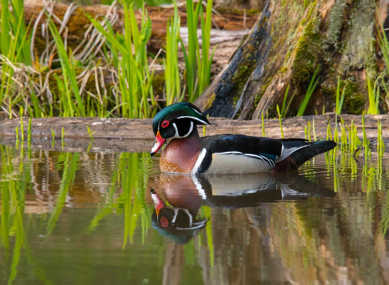 Wood Duck 005
