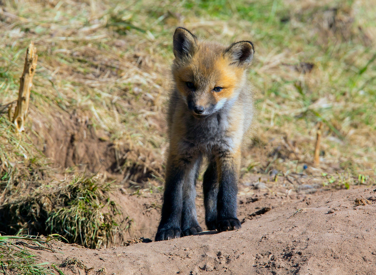 Fox Kits 002