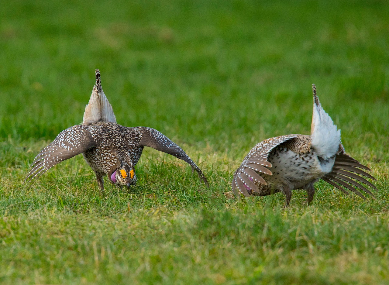 Sharp-tailed Grouse 006