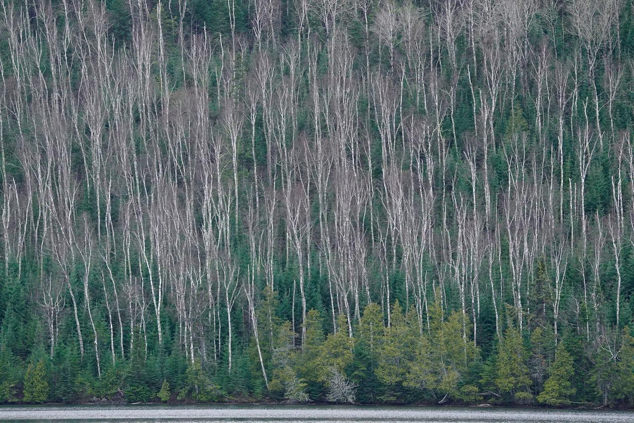 Paper Birch Forest