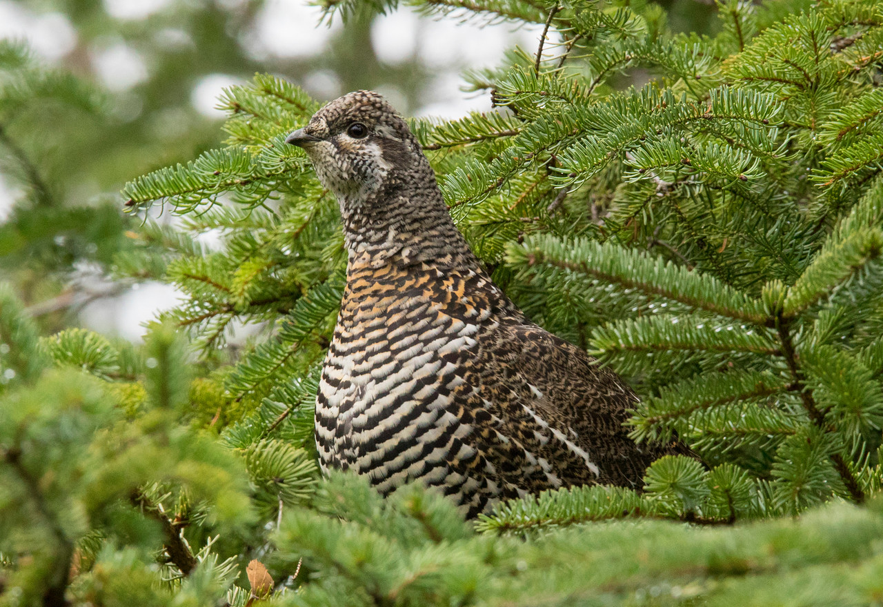 Spruce Grouse 002