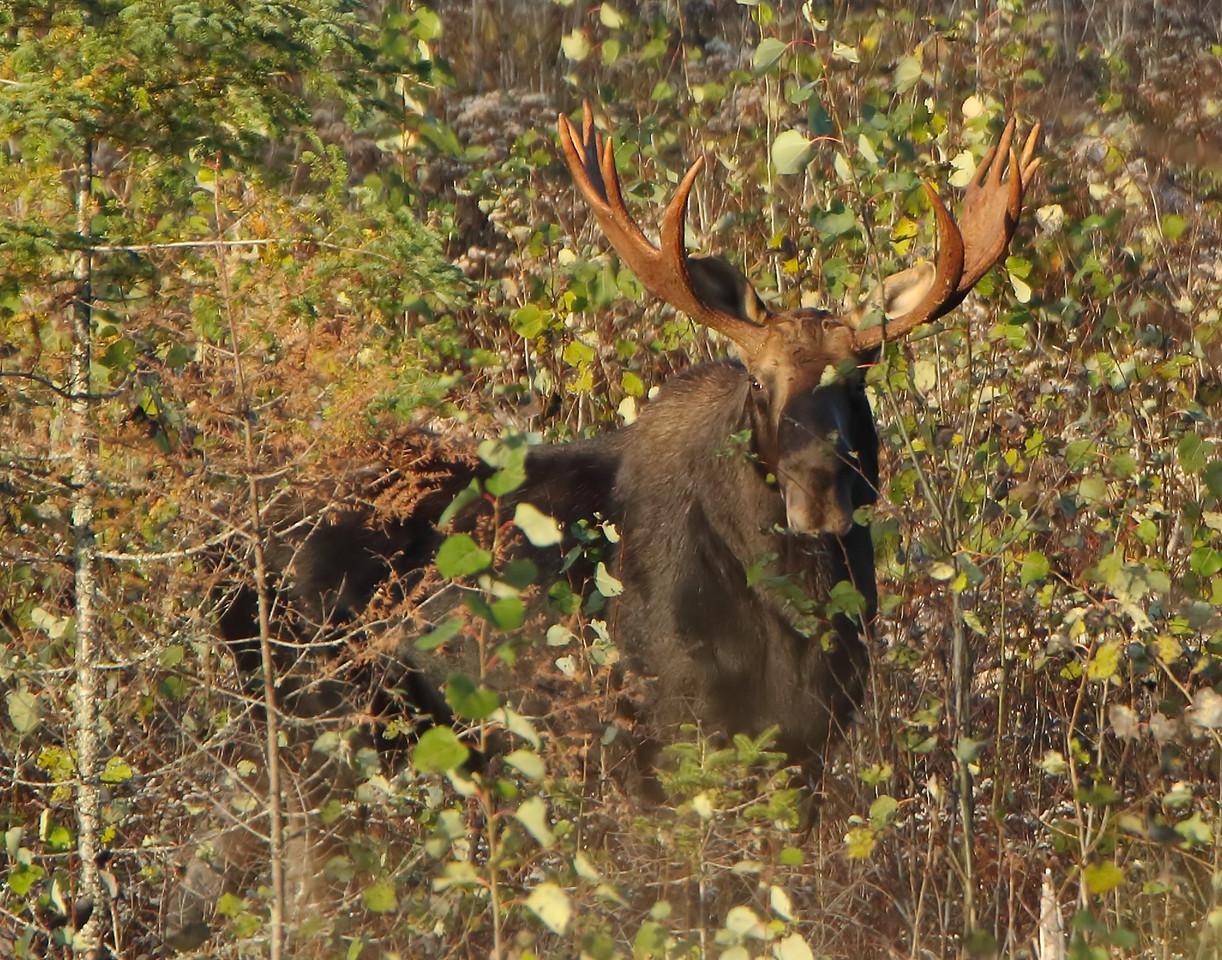 Bull Moose 003 (Photo by David Brislance)