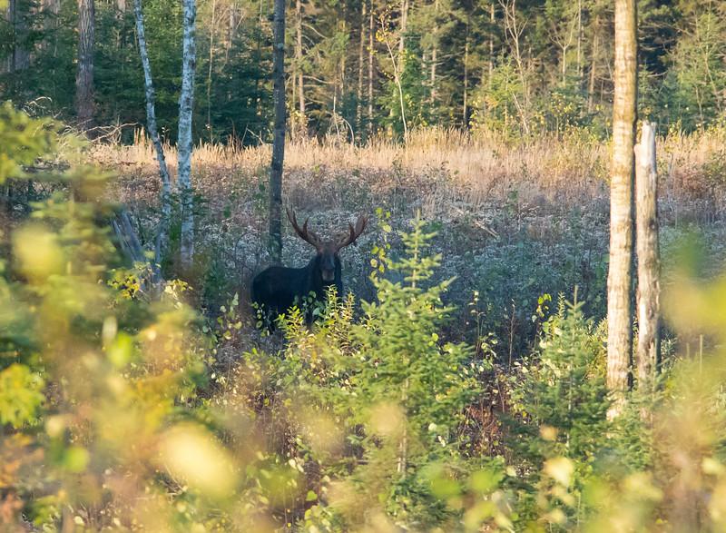 Bull Moose 002