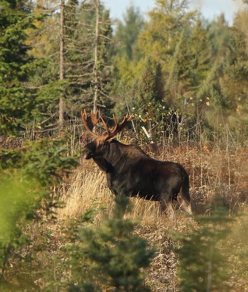 Bull Moose 004 (Photo by David Brislance)