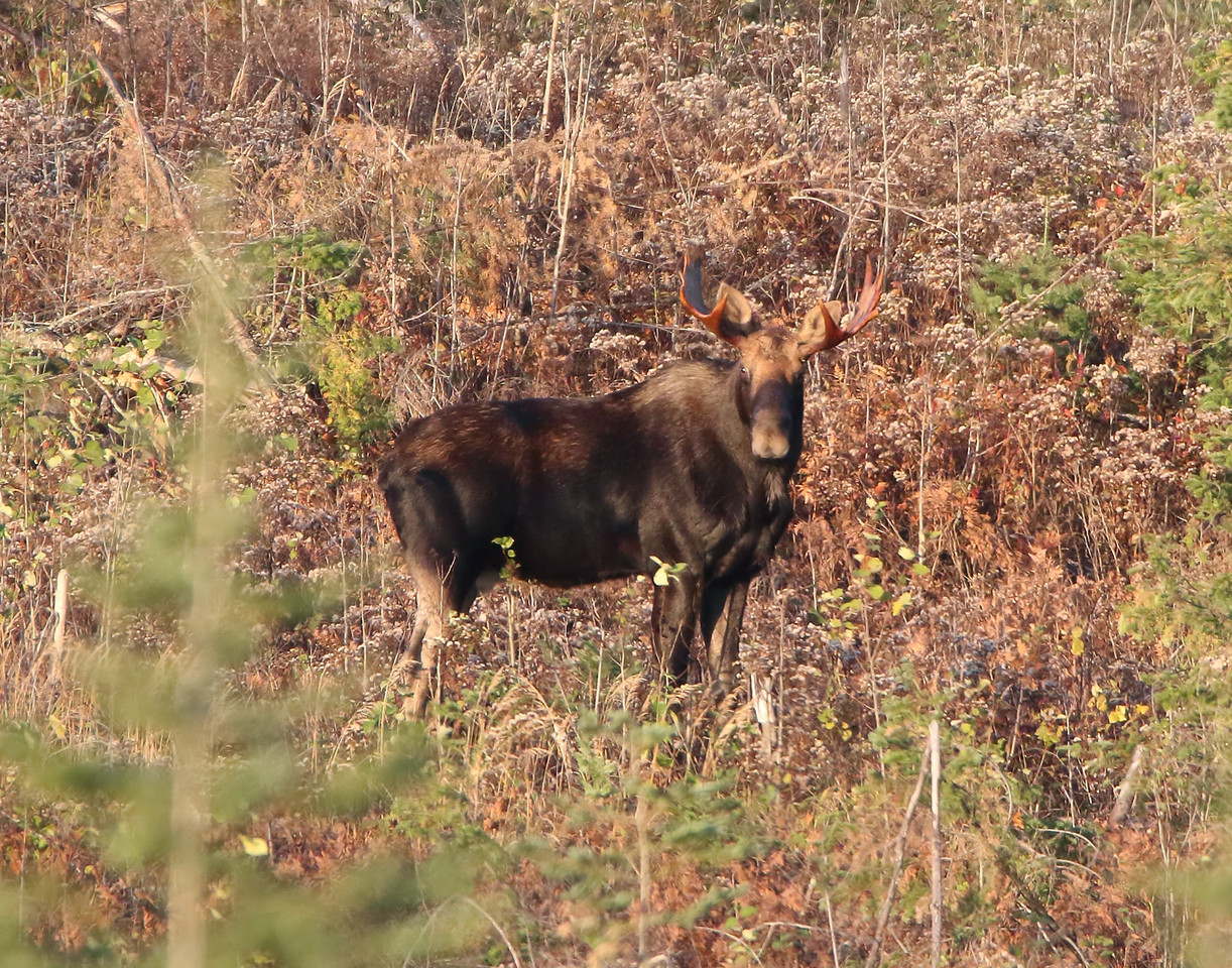 Bull Moose 001 (Photo by David Brislance)