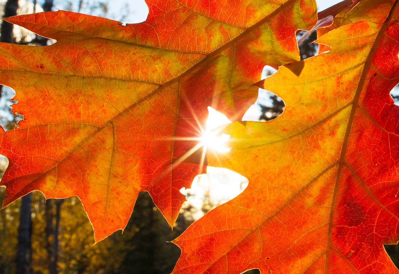 Oak Leaves 002