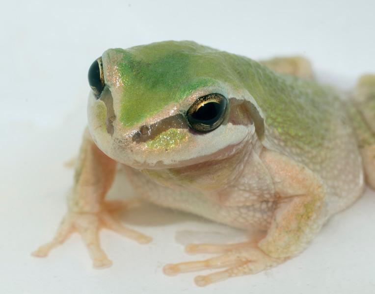 Gray Tree Frog 002