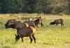 Roosevelt Elk 002