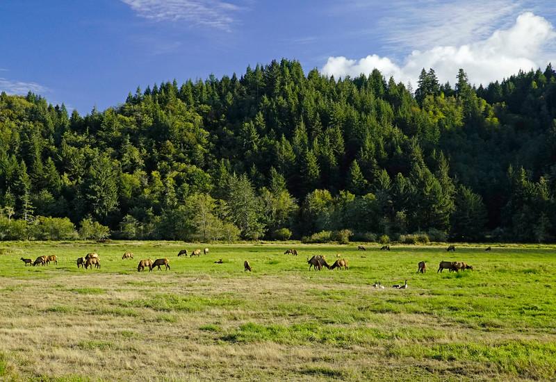 Roosevelt Elk 001