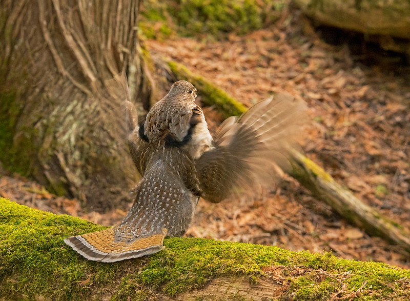 Drumming Ruffed Grouse 001