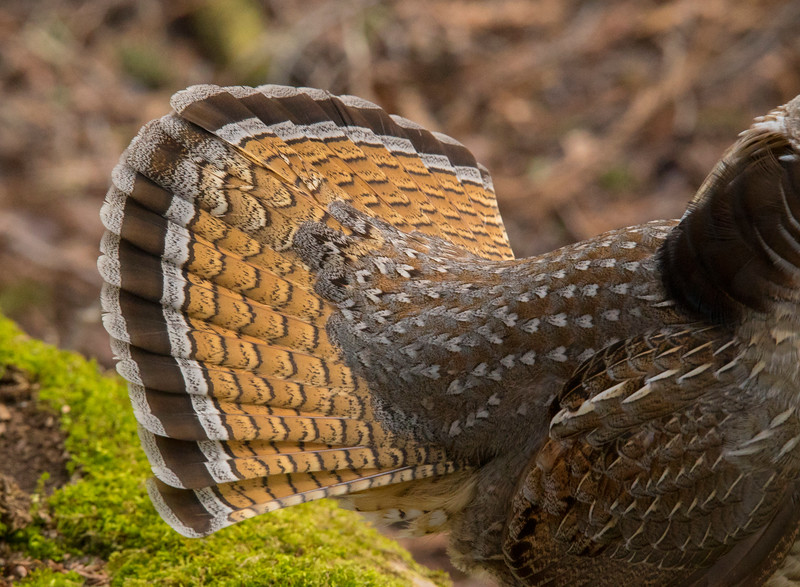 Drumming Ruffed Grouse 004