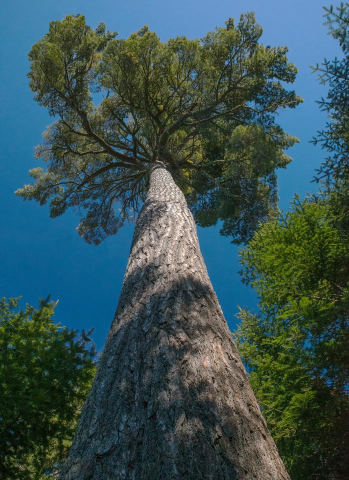 Cascade White Pine 002