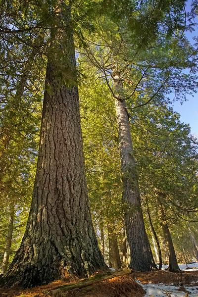 Cascade White Pine 001