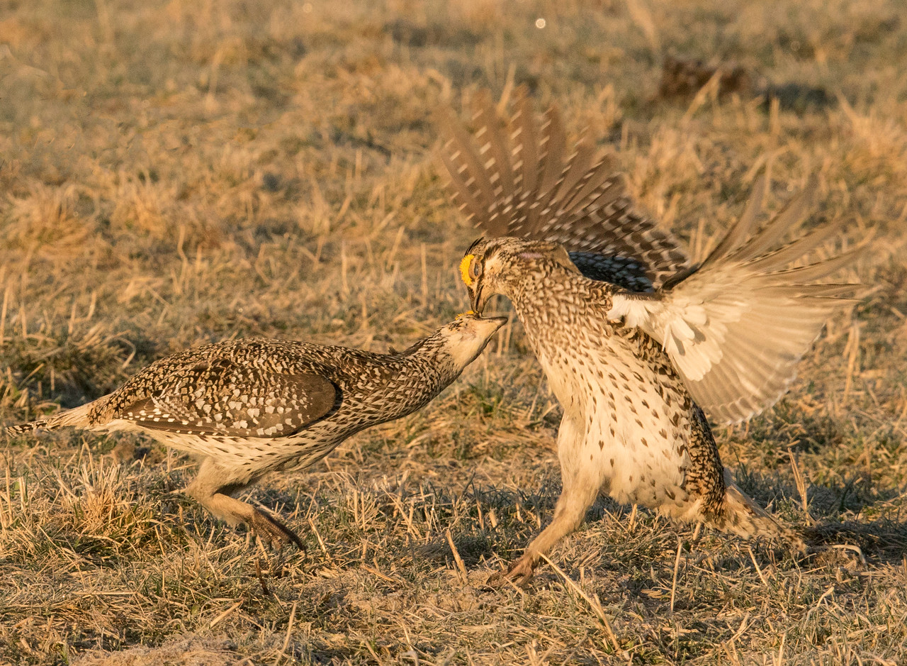 Sharp-tailed Grouse 005