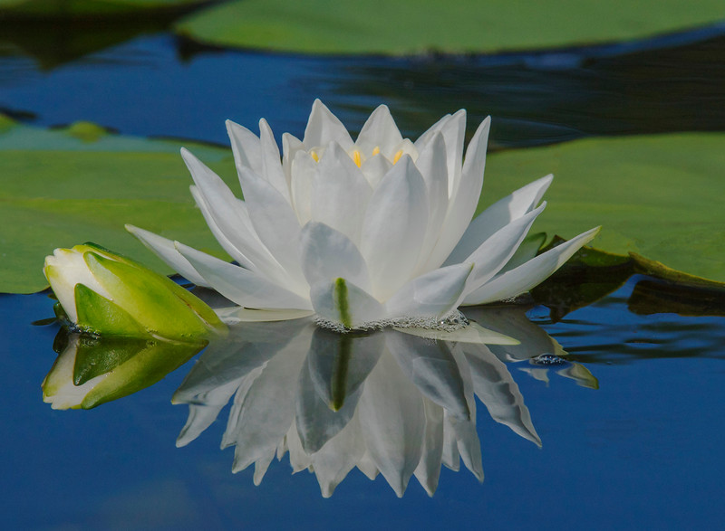 Fragrant Water Lilies 004