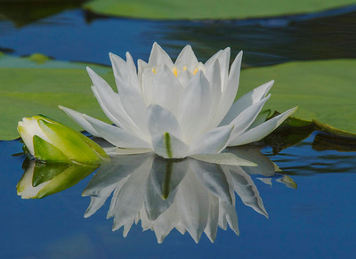Fragrant Water Lillies