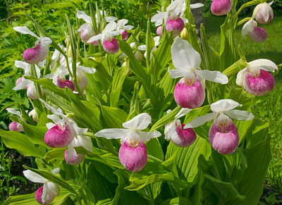 Pink & White Showy Lady's-Slippers