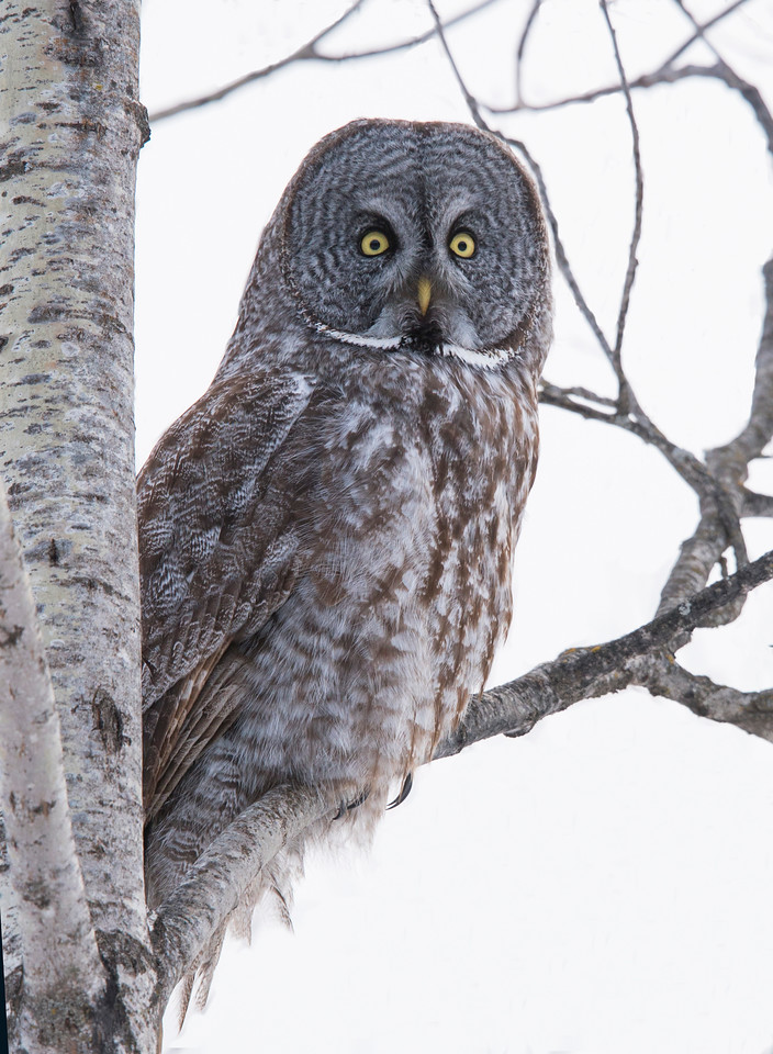 Great Gray Owl 001