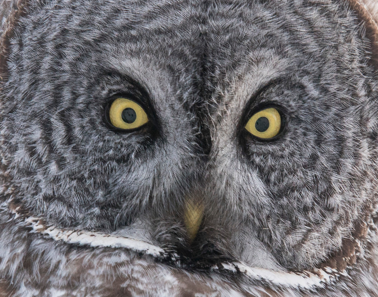 Great Gray Owl 007