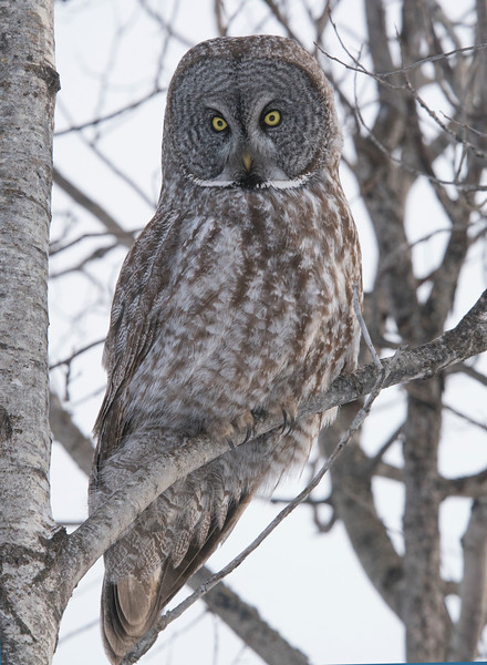 Great Gray Owl 002