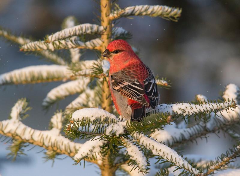 Pine Grosbeak 001