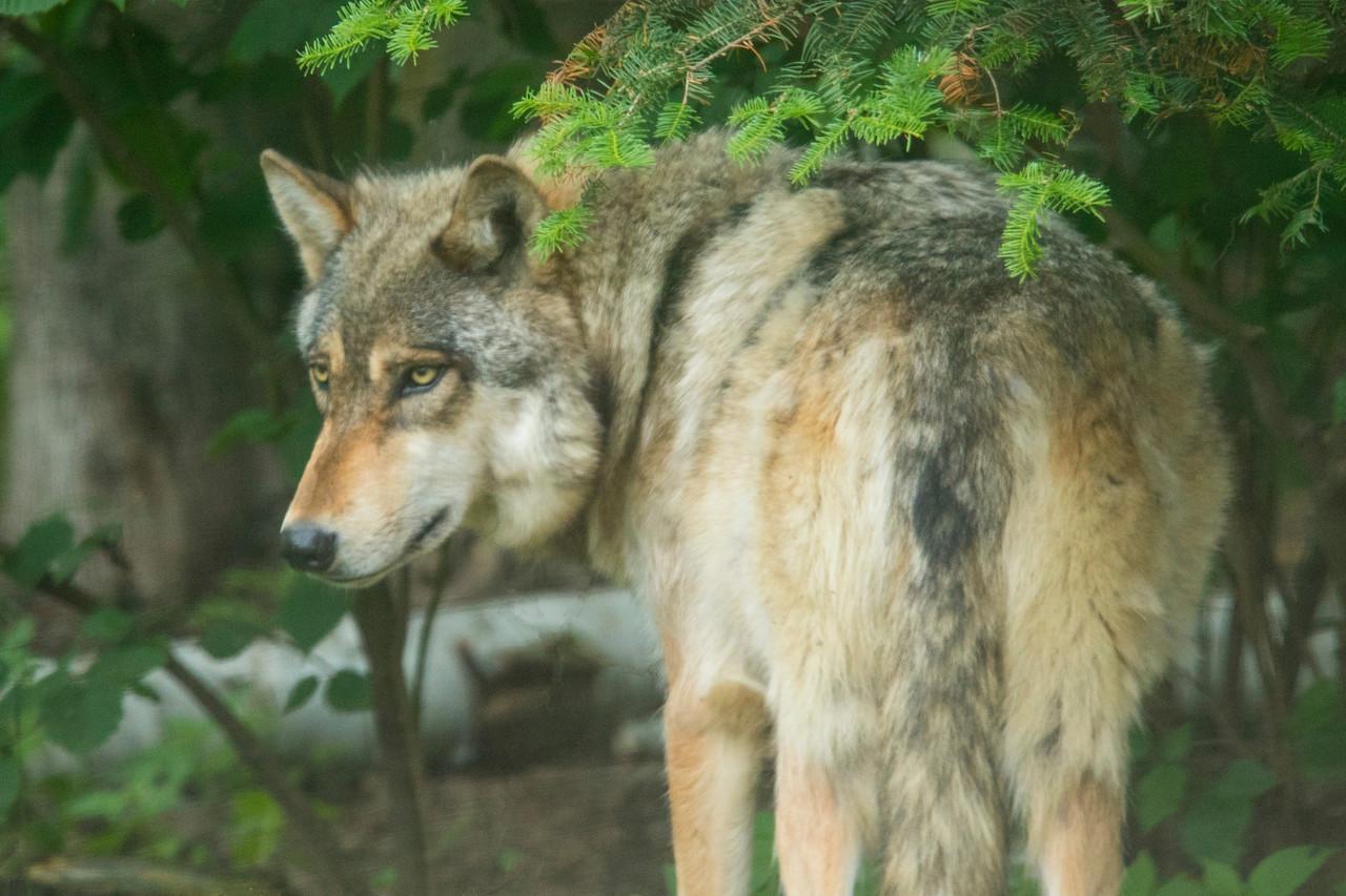 Wolf Center 001