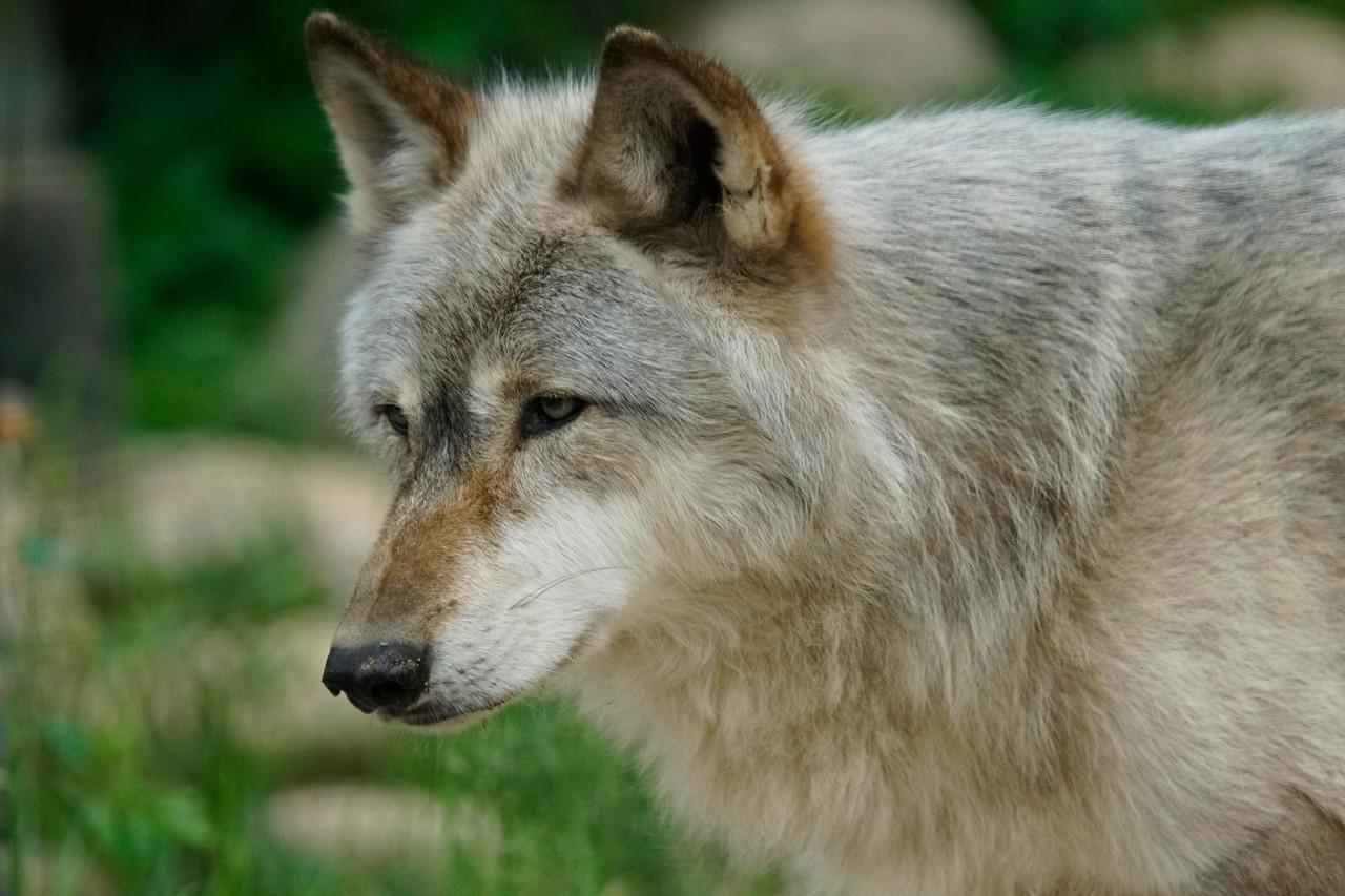 Wolf Center 002