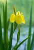 Wild Yellow Iris 002