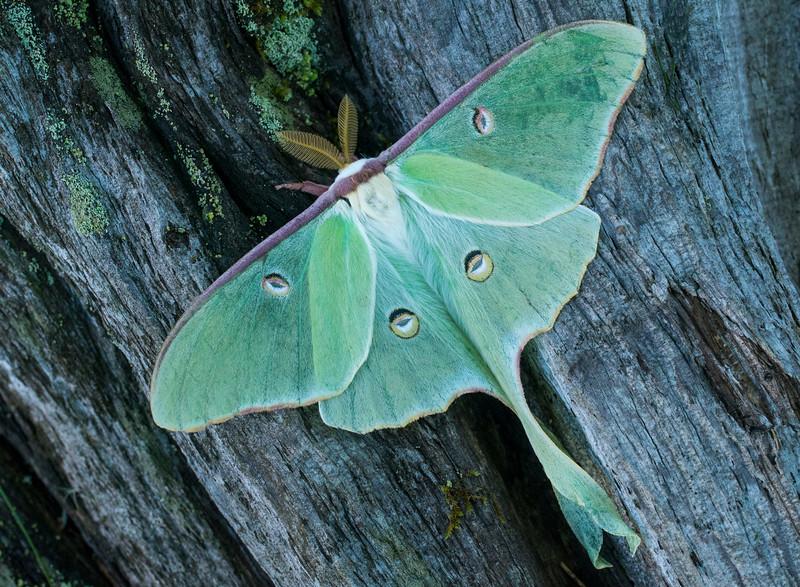 Luna Moth 002