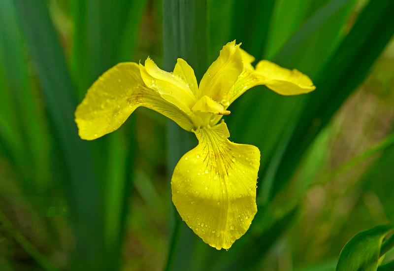 Wild Yellow Iris 001