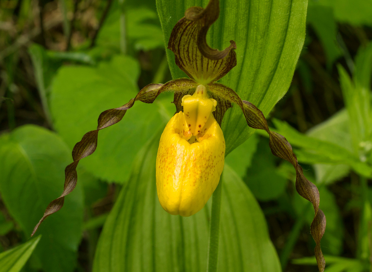 Yellow Lady's-slipper 001