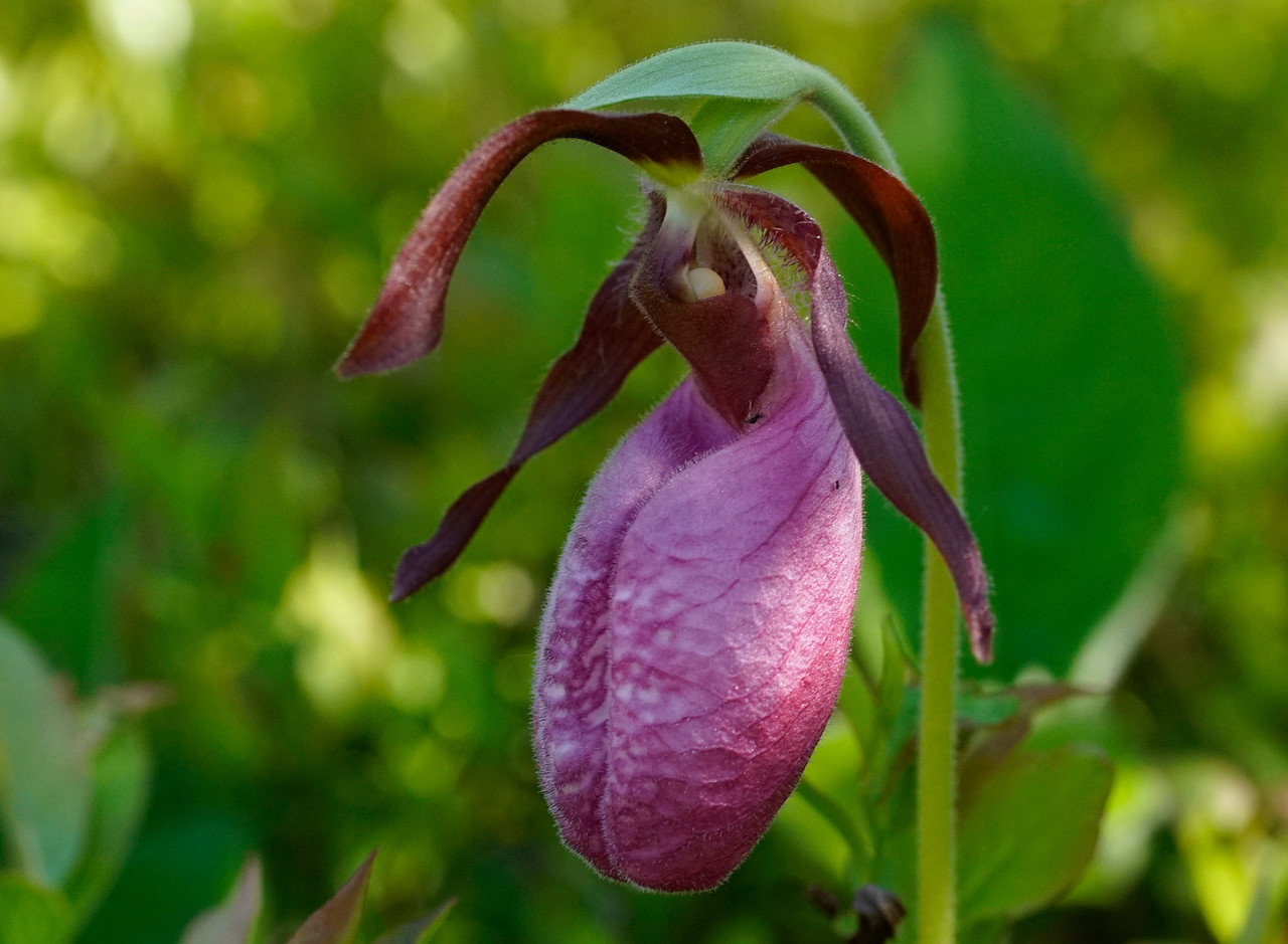 Pink Lady's-slipper 003