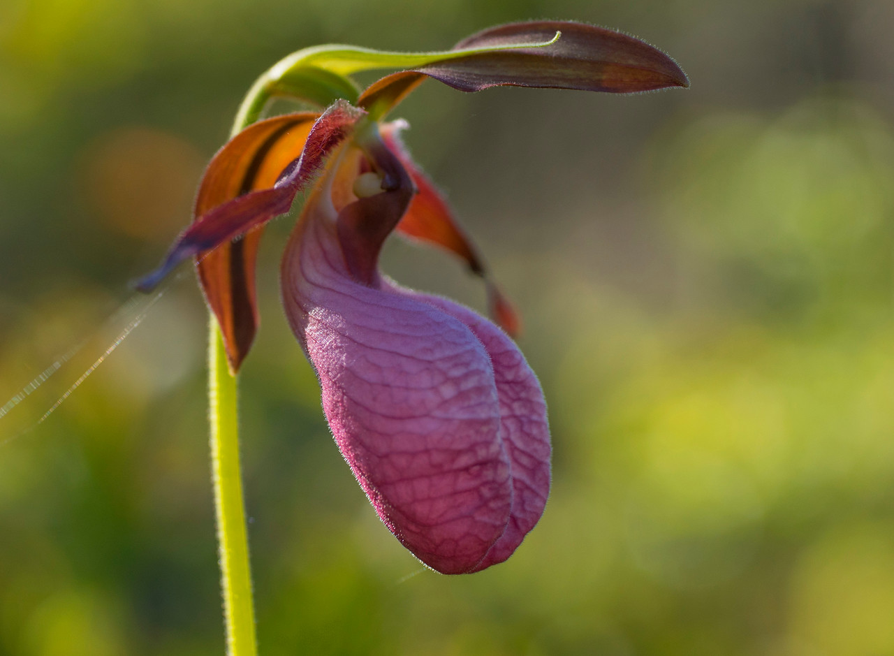 Pink Lady's-slipper 002
