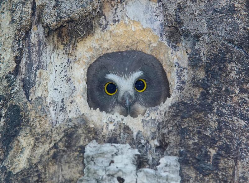 Saw-whet Owlet 001