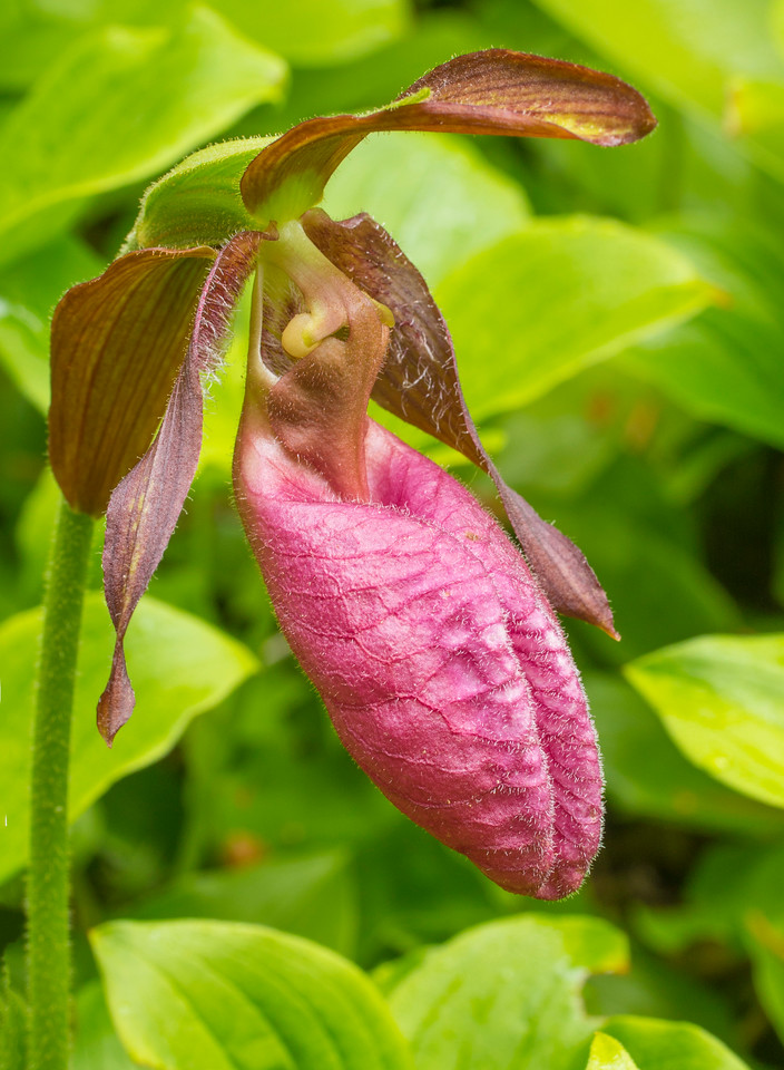 Pink Lady's-Slippers 003