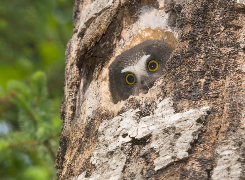 Saw-whet Owlet 002