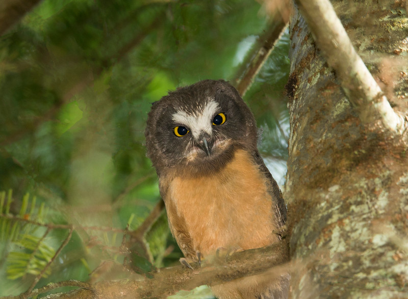 Saw-whet Owlet 003