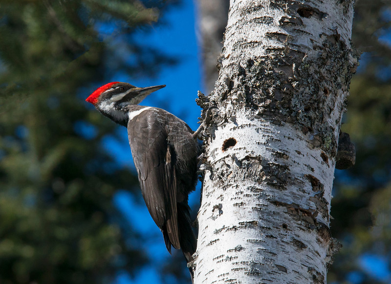 Pileated Woodpeckers 003